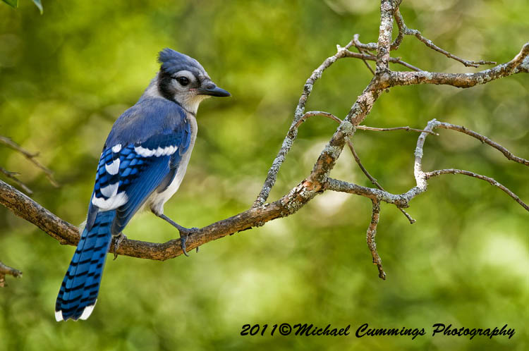 Blackbirds and Jay Pictures