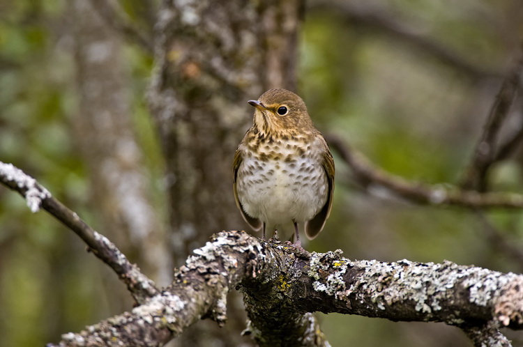 Thrushes