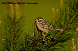 Clay Colored Sparrow