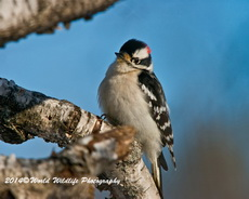 Downy Woodpecker Picture-23