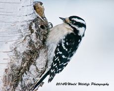Downy Woodpecker Picture-27