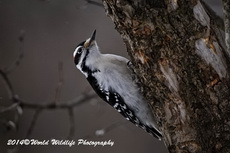 Hairy Woodpecker Picture-32