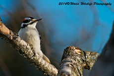 Hairy Woodpecker Picture-71