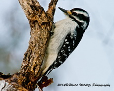 Hairy Woodpecker Picture-75