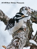 Hairy Woodpecker Picture-82