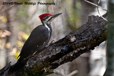 Pileated Woodpecker Picture Picture-24