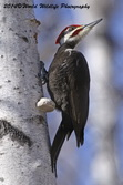 Pileated Woodpecker Picture Picture-31