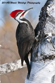 Pileated Woodpecker Picture Picture-47