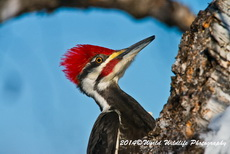 Pileated Woodpecker Picture Picture-72