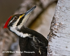 Pileated Woodpecker Picture Picture-79