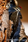 Pileated Woodpecker Picture Picture-83