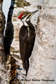 Pileated Woodpecker Picture Picture-86