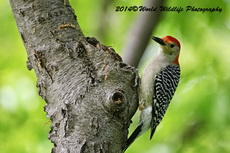 Red Bellied Woodpecker Picture-12