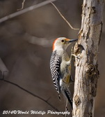 Red Bellied Woodpecker Picture-6