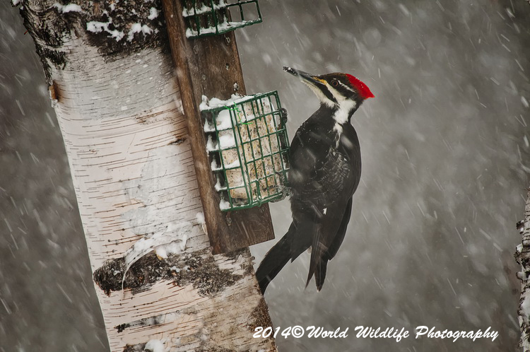 Pileated Woodpecker Woodpecker