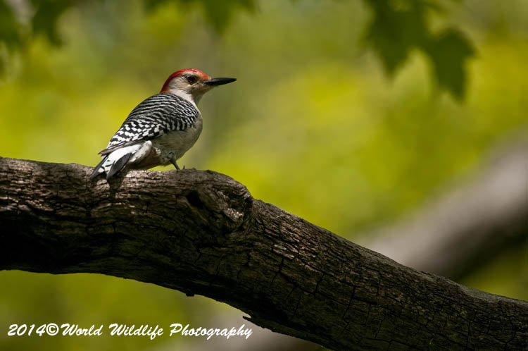 Woodpecker Pictures