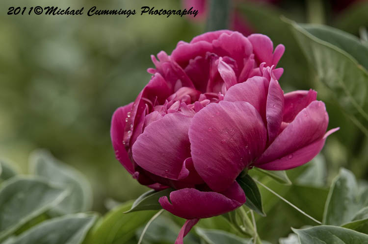 peony pictures