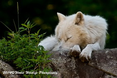 Arctic Wolf Picture