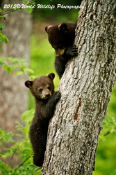 Black Bear Picture