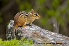 chipmunk pictures