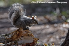 graysquirrel pictures