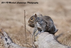 Gray Squirrel Picture