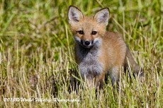 Red Fox Picture