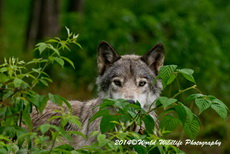 Timber Wolf Picture